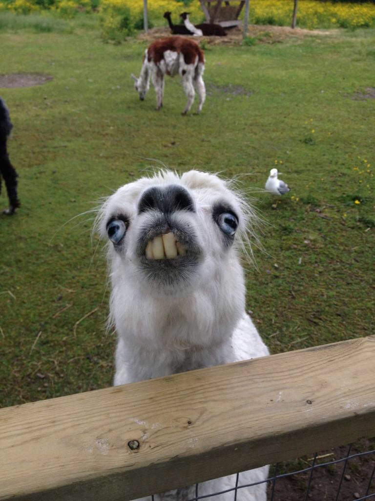 Picture Of A Llama Crying: Lamas Are Awesome!